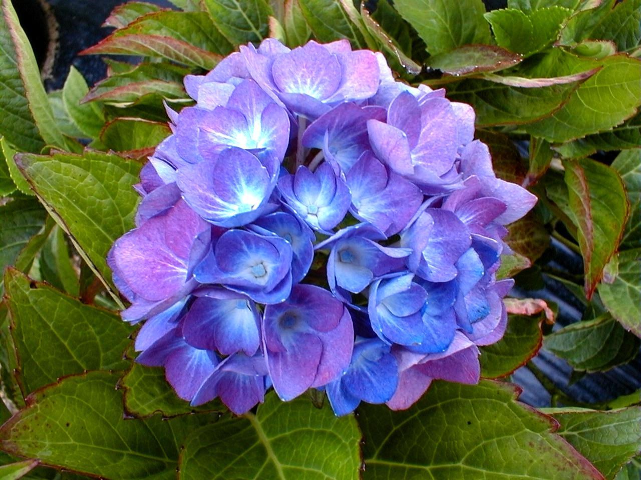 Nos conseils pour le bleuissement des hortensias - Terre pour hortensia bleu ...