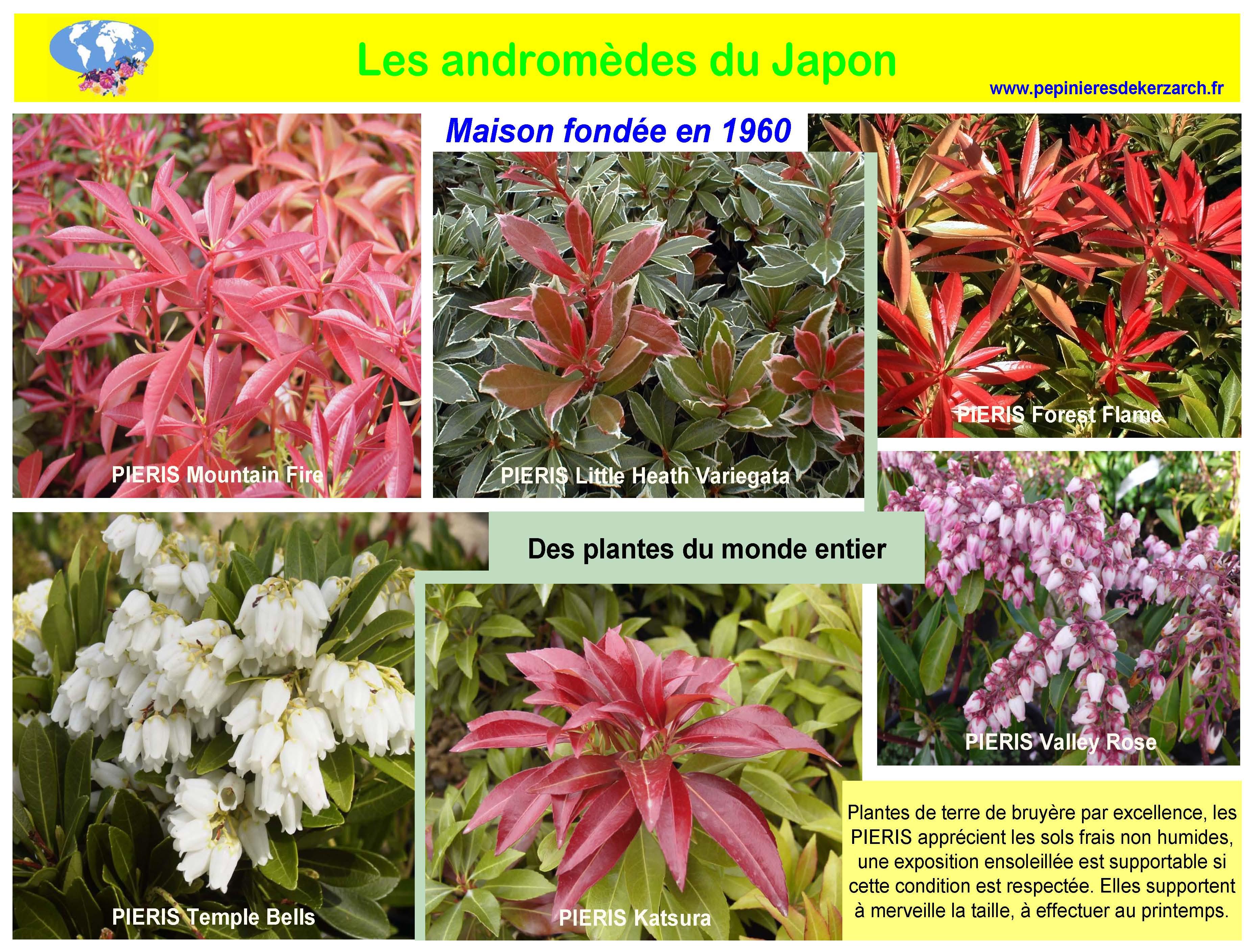 Les androm des du japon p pini res de kerzarc 39 h - Confiture de nefles du japon ...