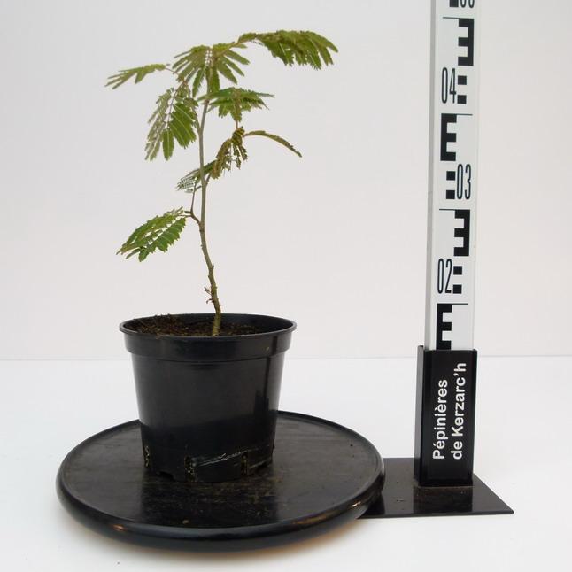 Albizia julibrissin ombrella acacia de constantinople for Acacia de constantinople prix