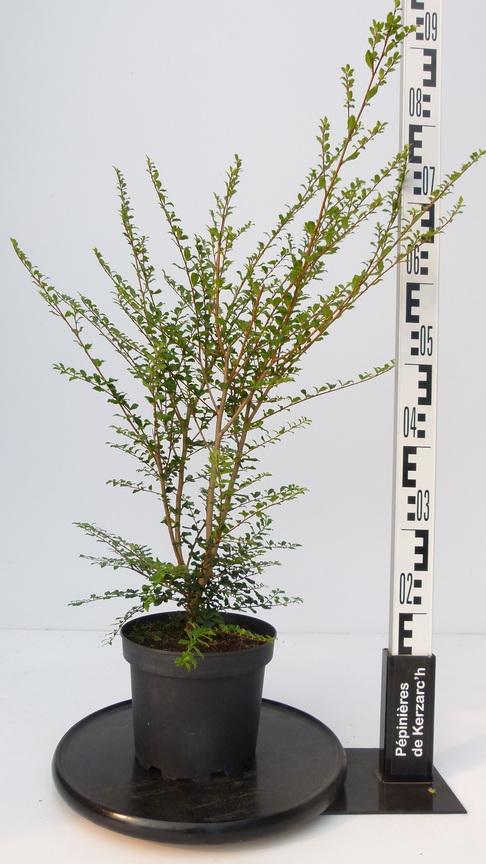 Azara microphylla azara microphylla p pini re en ligne for Pepinieres en ligne