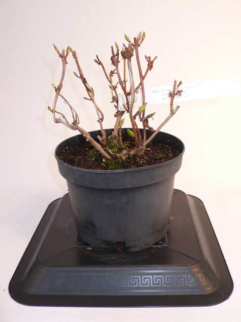 Hydrangea macrophylla mousmee hortensia de jardin for Pepinieres en ligne