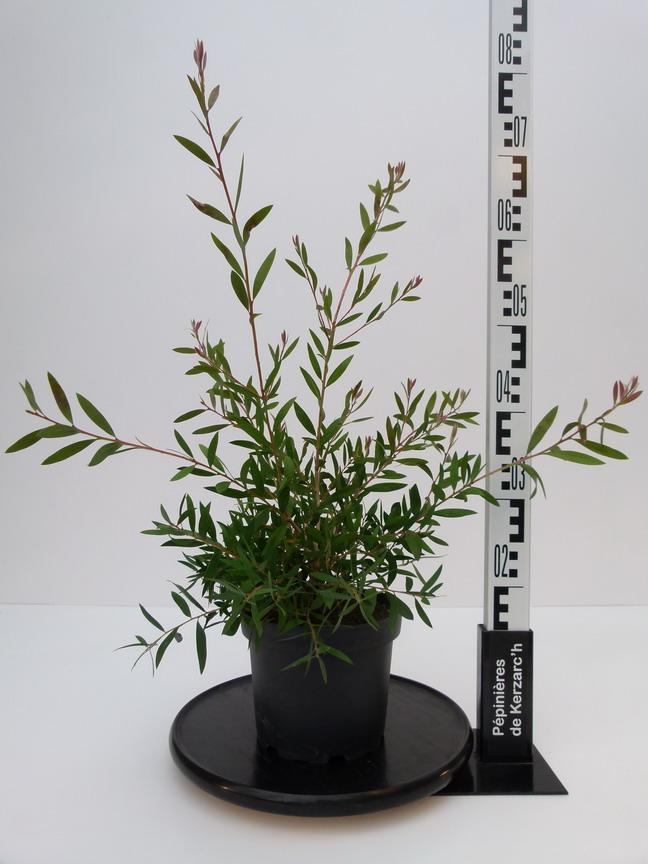 Callistemon acuminatus rince bouteille australien for Pepinieres en ligne