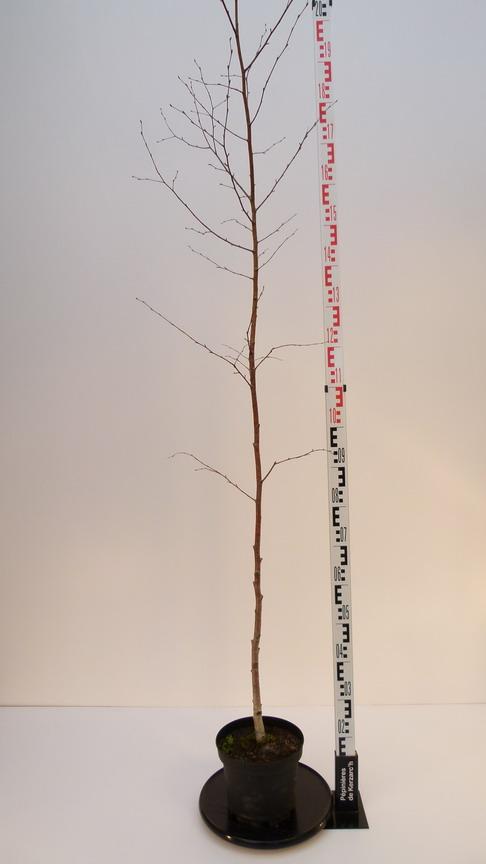 Betula verrucosa bouleau commun bouleau blanc for Pepinieres en ligne