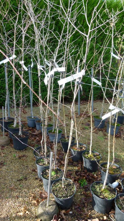 betula verrucosa purpurea bouleau pourpre p pini re en ligne de kerzarc 39 h. Black Bedroom Furniture Sets. Home Design Ideas