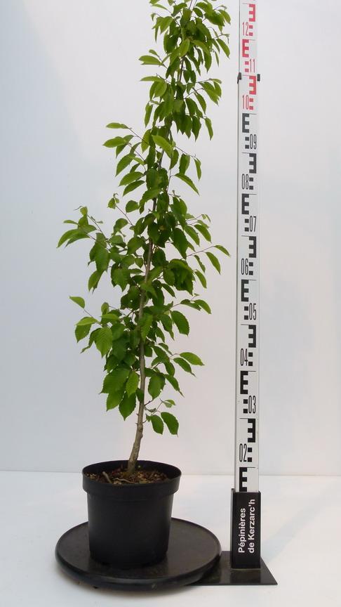 Carpinus betulus fastigiata charme pyramidal p pini re for Pepinieres en ligne
