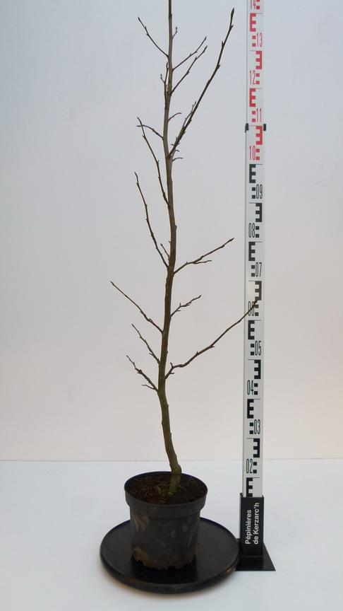 Liquidambar styraciflua worplesdon copalme d 39 am rique for Pepinieres en ligne