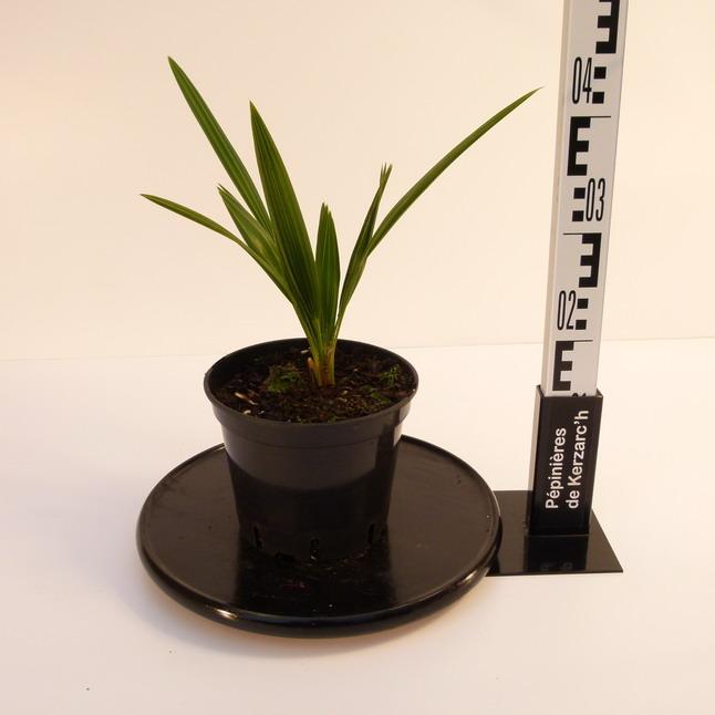 chamaerops humilis palmier nain d 39 europe doum p pini re en ligne de kerzarc 39 h. Black Bedroom Furniture Sets. Home Design Ideas