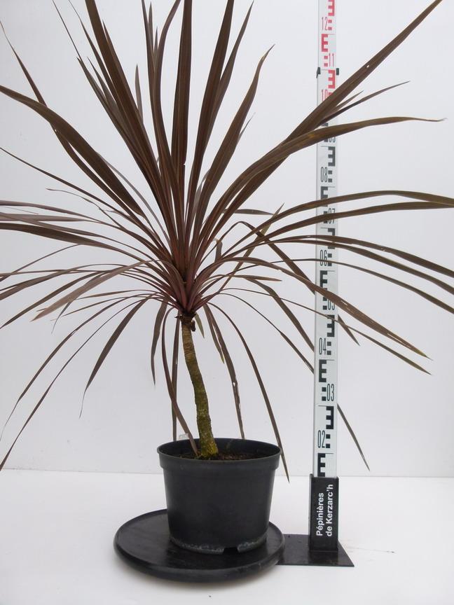 Cordyline australis purpurea palmier de nouvelle z lande for Pepinieres en ligne