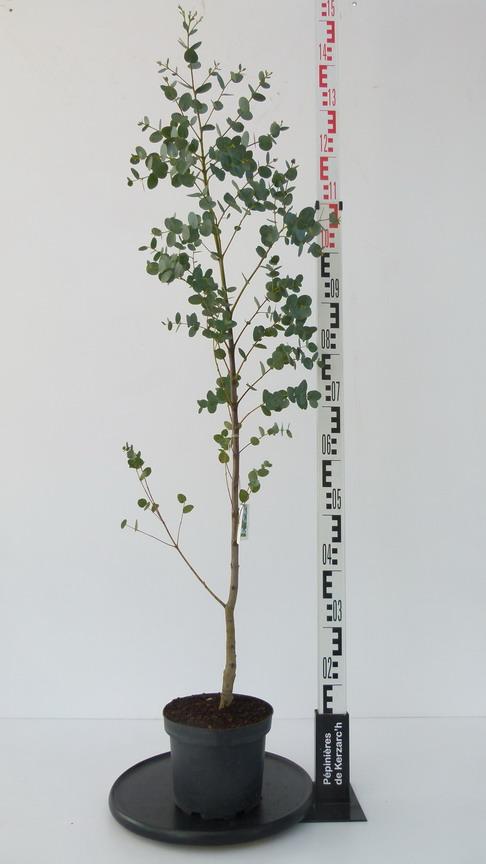 Eucalyptus gunnii gommier cidre d 39 australie arbre au for Plante 21 en ligne