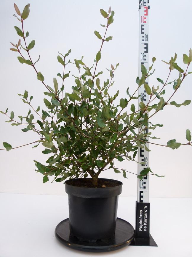 Eucryphia rostrevor eucryphia rostrevor for Plante 21 en ligne