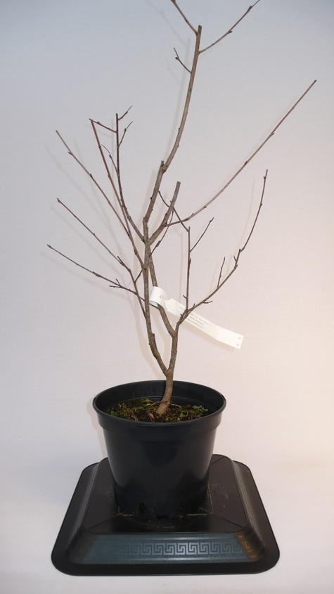 Exochorda exochorda macrantha p pini re en for Pepinieres en ligne