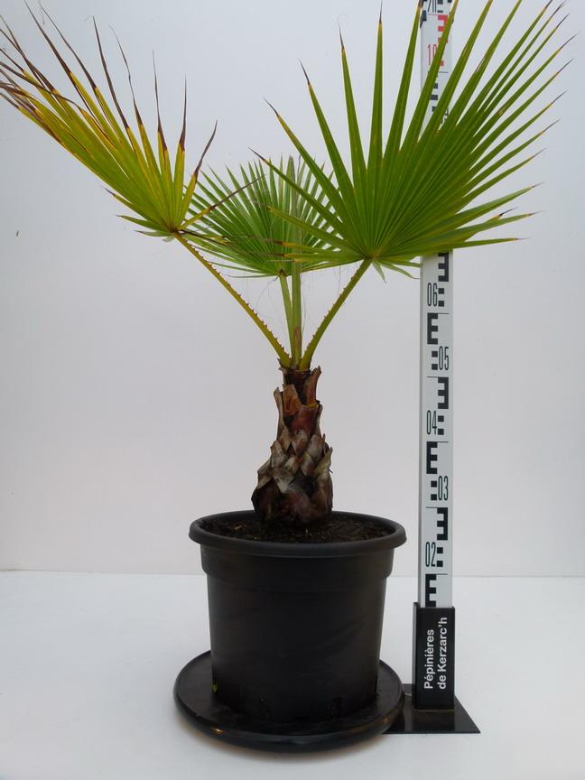 Washingtonia robusta p pini re en ligne de kerzarc 39 h for Pepinieres en ligne