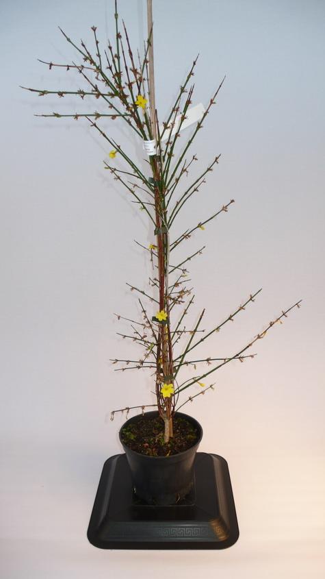 Jasminum nudiflorum jasmin d 39 hiver p pini re en ligne for Pepinieres en ligne