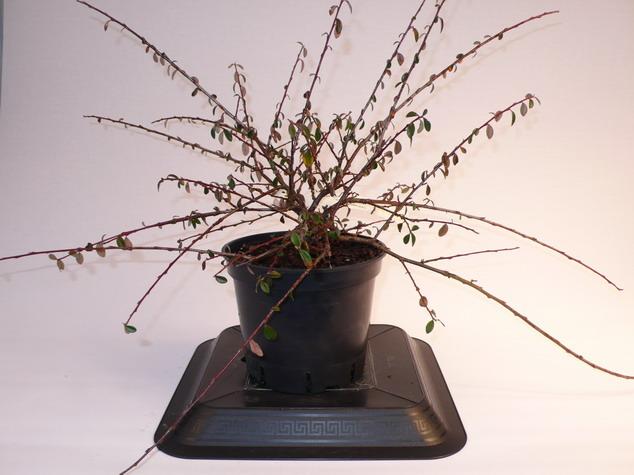 Cotoneaster skogholm coton aster rampant skogholm for Pepinieres en ligne