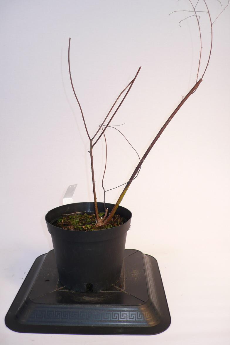Lespedeza thunbergii lesp d za p pini re en ligne de for Pepinieres en ligne