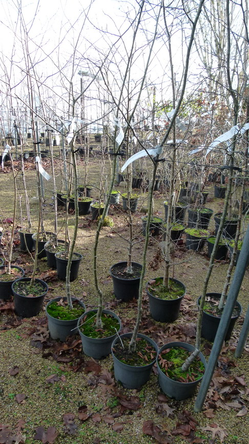 Ostrya carpinifolia charme houblon p pini re en ligne for Pepinieres en ligne
