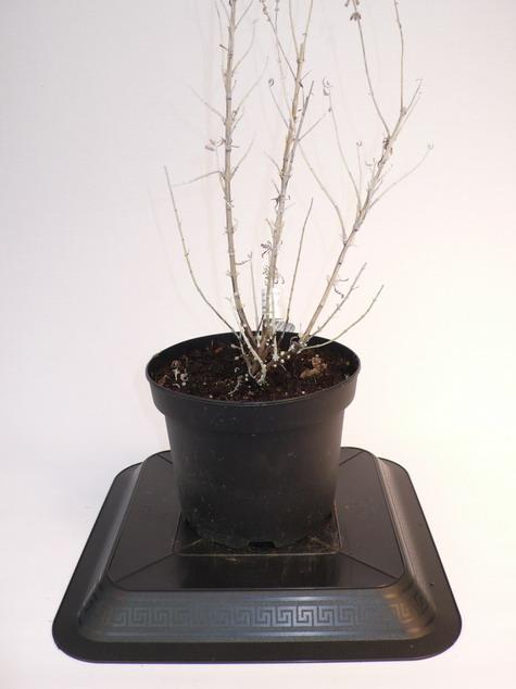 Perovskia atriplicifolia blue spire p rovskia blue spire for Pepinieres en ligne