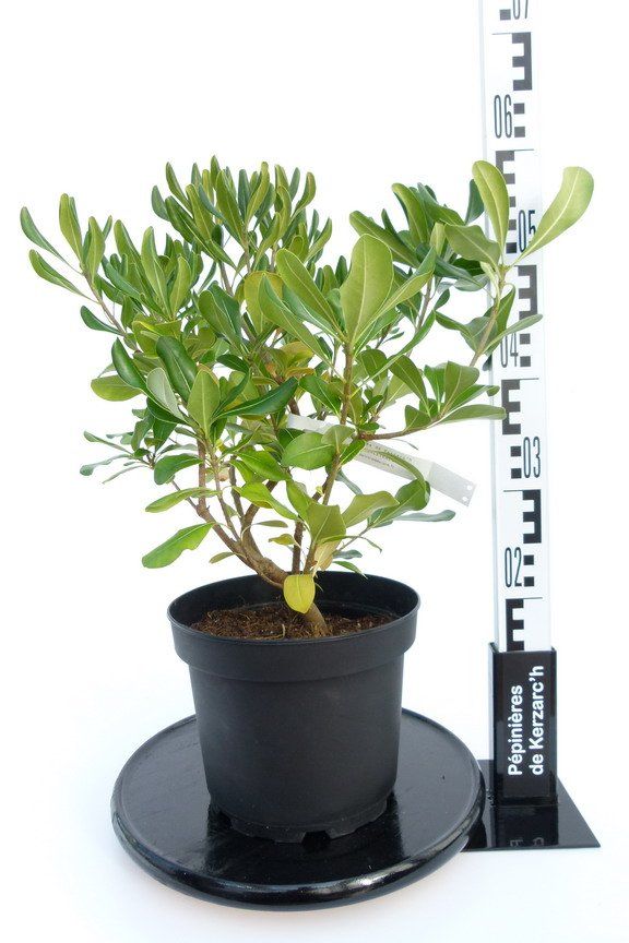Pittosporum tobira pittosporum tobira faux oranger for Pepinieres en ligne