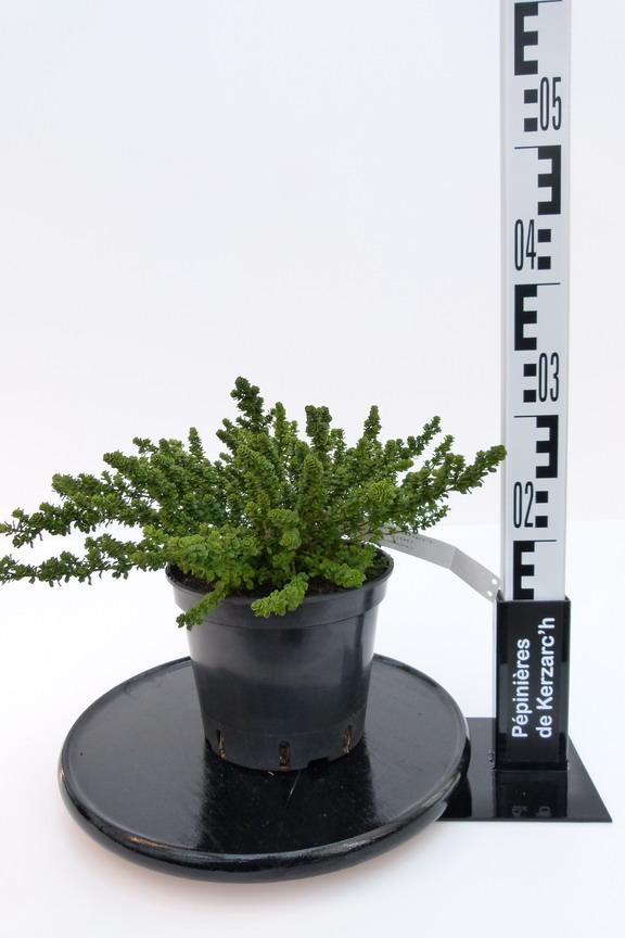 Prostanthera cunneata prostanthera cunneata menthe for Pepinieres en ligne