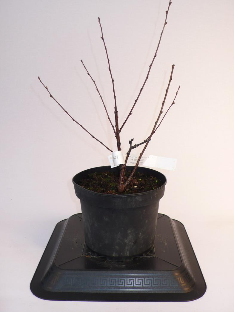 Prunus triloba multiplex amandier de chine p pini re for Pepinieres en ligne