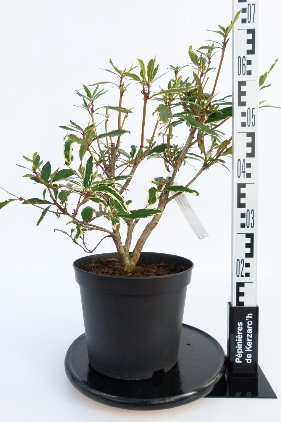 Rhododendron ponticum variegatum rhododendron pontique panach p pini re en ligne de kerzarc 39 h - Comment planter un rhododendron ...