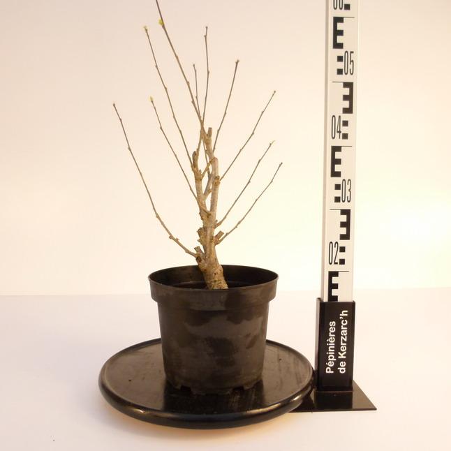 Hibiscus syriacus aphrodite mauve en arbre alth a for Pepinieres en ligne