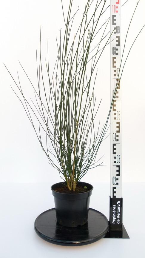 Spartium junceum gen t d 39 espagne spartier p pini re for Pepinieres en ligne