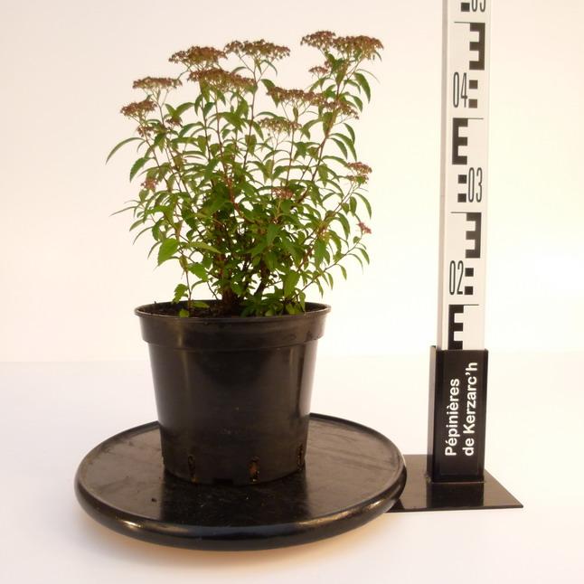 Spiraea japonica anthony waterer spir e du japon anthony for Pepinieres en ligne