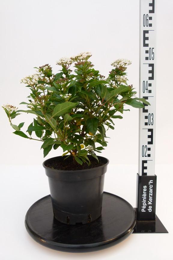 viburnum tinus laurier tin laurier fleurs p pini re en ligne de kerzarc 39 h. Black Bedroom Furniture Sets. Home Design Ideas