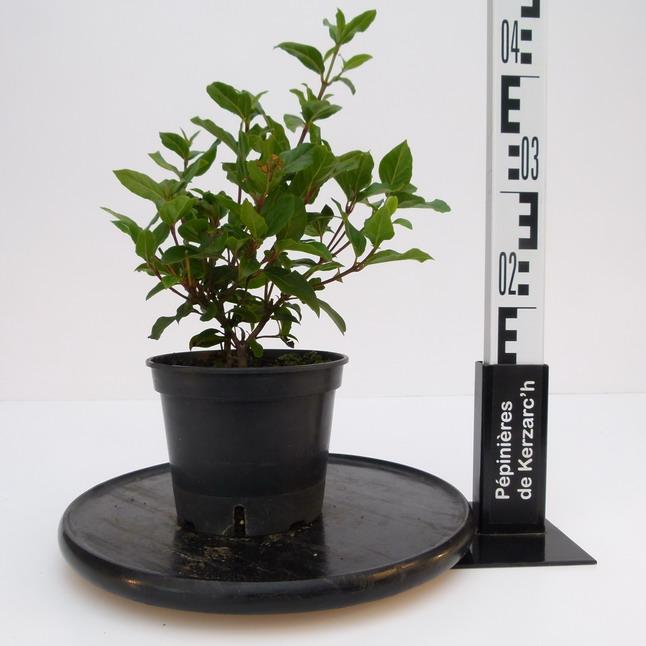 viburnum tinus gwenlian laurier tin gwenlian laurier fleurs p pini re en ligne de kerzarc 39 h. Black Bedroom Furniture Sets. Home Design Ideas