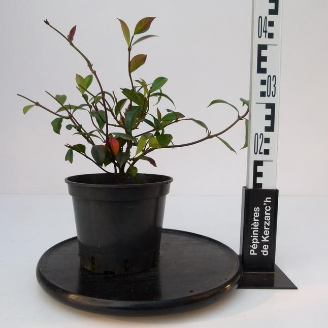 Trachelospermum jasminoides trach losperme jasmin - Taille du jasmin etoile ...