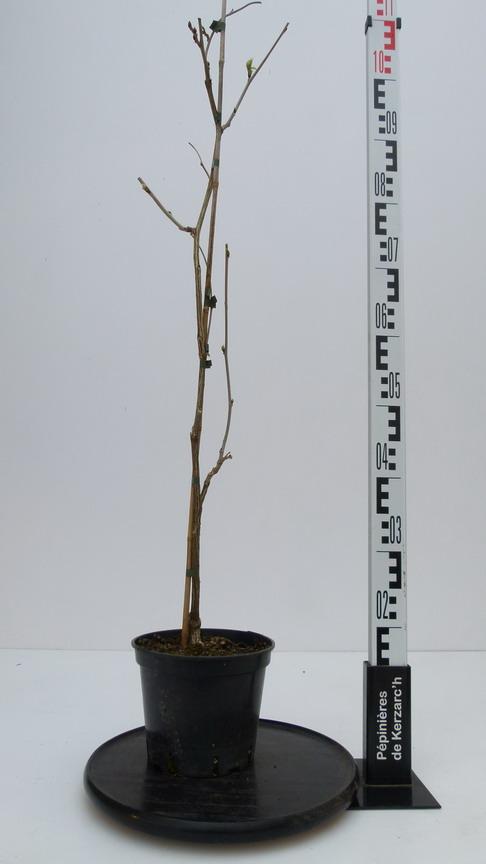 Wisteria floribunda violacea plena glycine du japon for Plante 21 en ligne