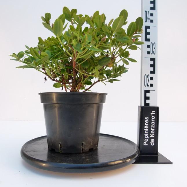 Rhododendron nain shamrock rhododendron nain shamrock for Pepinieres en ligne