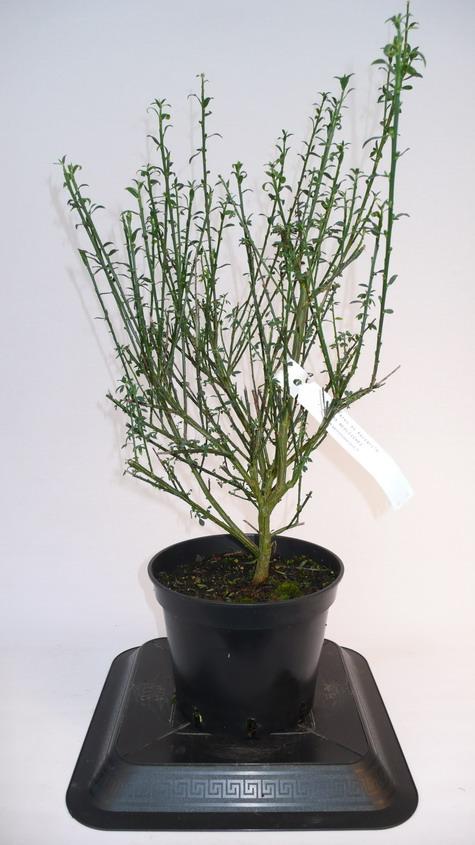 Cytisus scoparius luna gen t balai luna p pini re en for Quand planter un rhododendron