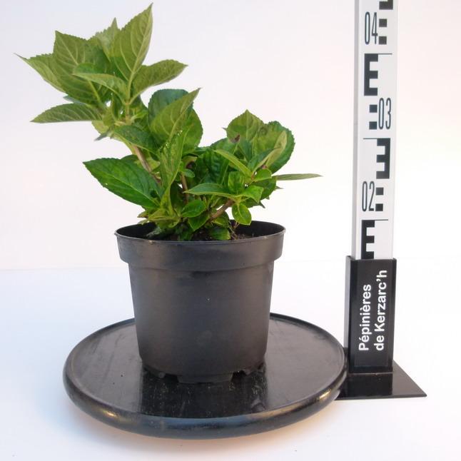 Hydrangea macrophylla merveille hortensia de jardin for Pepinieres en ligne