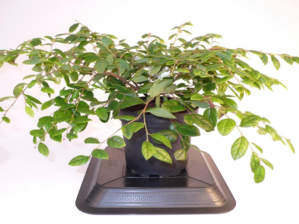 Loropetalum chinense lorop tale de chine p pini re en for Pepinieres en ligne