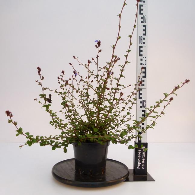 Ceratostigma griffithii plumbago arbustif p pini re en for Pepinieres en ligne