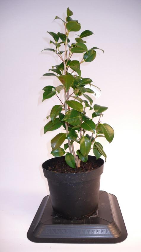 Camellia japonica kimberley cam lia japonica kimberley for Pepinieres en ligne