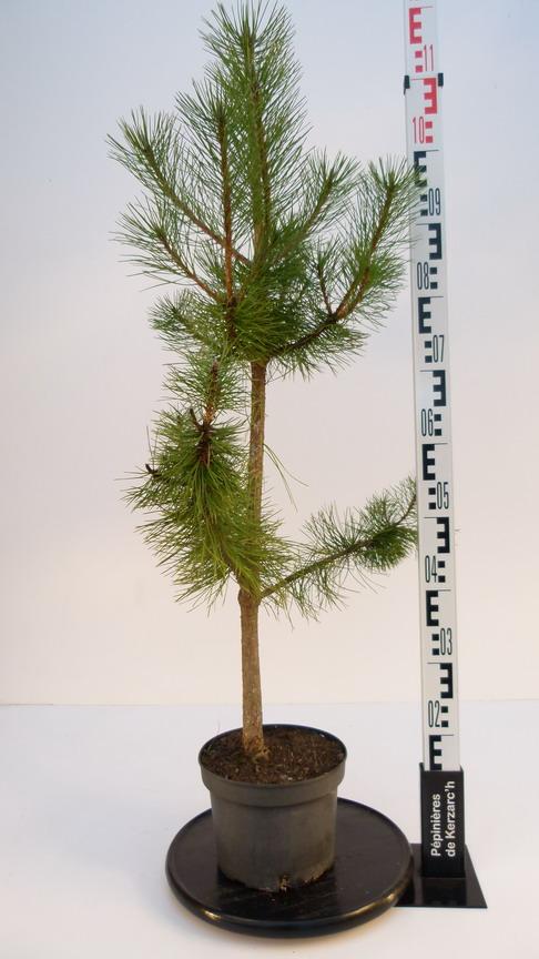 Pinus nigra pin noir d 39 autriche for Pepinieres en ligne