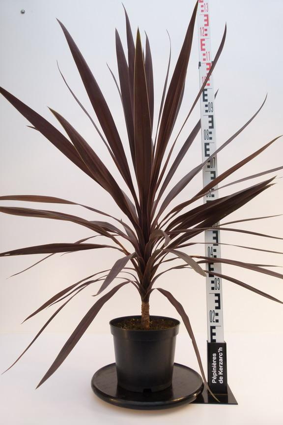 cordyline australis purple tower palmier de nouvelle z lande purple tower p pini re en ligne. Black Bedroom Furniture Sets. Home Design Ideas