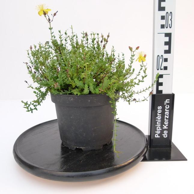 Hypericum olympicum millepertuis du mont olympe for Pepinieres en ligne