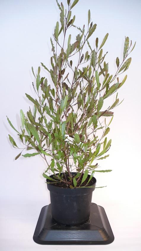 Dodonaea viscosa purpurea dodon e visqueuse pourpre for Plante 21 en ligne