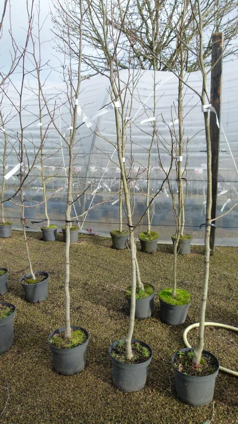 Liriodendron tulipifera aureomarginatum tulipier de for Pepinieres en ligne