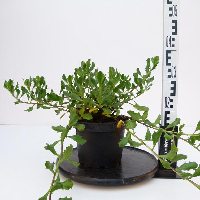 Dimorphoteca caulescens mauve dimorphot ca marguerite for Pepinieres en ligne
