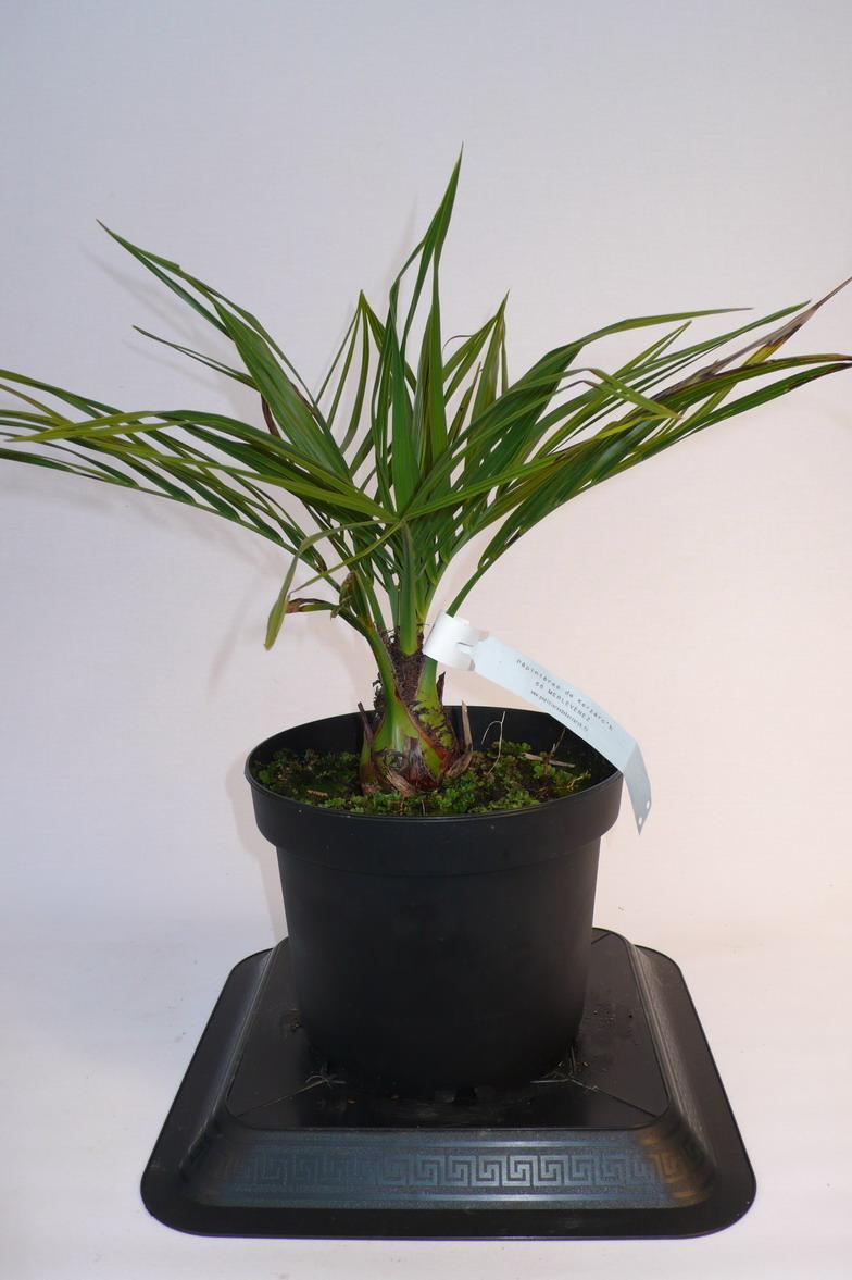Butia capitata palmier vin palmier bleu arbre for Pepinieres en ligne