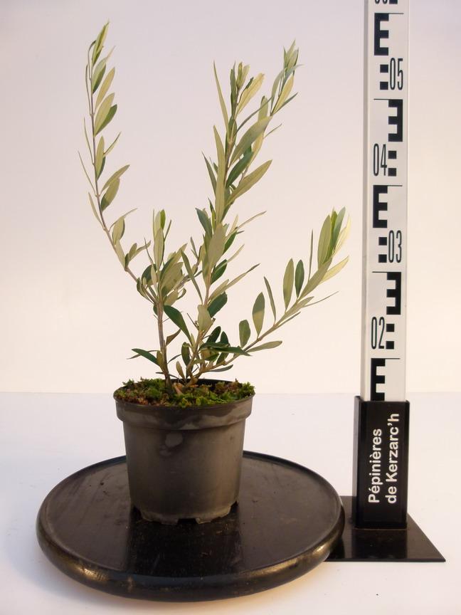 olea europea fastigiata olivier commun olivier d 39 europe olivier fastigi p pini re en. Black Bedroom Furniture Sets. Home Design Ideas