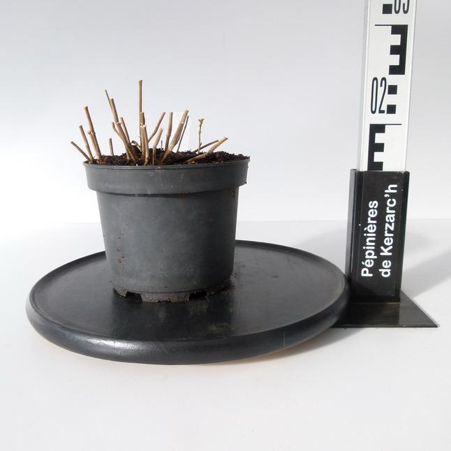 Jacobinia suberecta jacobinia suberecta p pini re en for Pepinieres en ligne