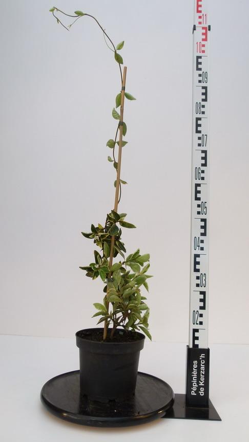 Trachelospermum jasminoides variegatum trach losperme - Taille du jasmin etoile ...
