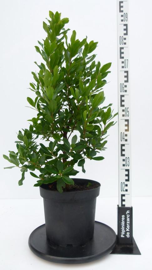 Arbutus unedo roselily arbousier roselily p pini re for Pepinieres en ligne