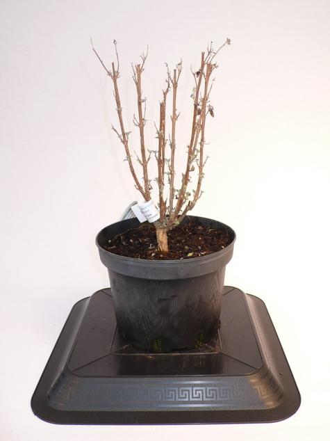 Caryopteris grand bleu caryopt ris for Pepinieres en ligne